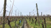 vine plant : Snowy static scene view of the vineyards in winter Stock Footage