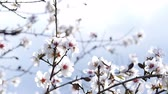 comestível : Spring. The flowering tree. Wild almond blossoms in Spain Vídeos