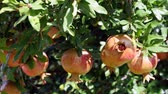 Ripe organic pomegranate tree