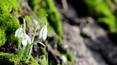 kar taneciği : Snowdrops in the snow,spring snowdrops with snow,snowdrops flowering growing in moss