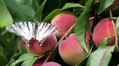 щедрость : butterfly sits on a branch of a peach