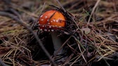 background : mushrooms in the forest,fly agaric mushroom Stock Footage