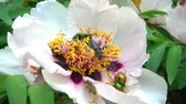 пион : Insect and bees on the flower of a peony in a flower pollen. May insect and bees on a tree like pion. Slow motion shooting of 120 fps. Стоковые видеозаписи