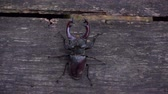 dub : A insect in the park on a wooden table. A beautiful insect crawls along the table.