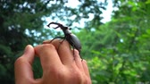 cins : The insects is crawling along the human hand. Friendly behavior of a deer insects with a human. Stok Video