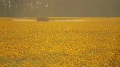 helianthus : The tractor sprinkles field with a sunflower. The sprayer processes the pesticide plantation helianthus plantation, close up. Stock Footage