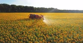 helianthus : The tractor sprinkles the field with a sunflower. The sprayer processes the pesticide plantation helianthus plantation 4k video.