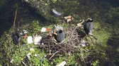 recyclable : A moor hen on its nest surrounded by plastic waste on a river