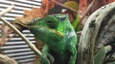 Close up of a bright green chameleon Filmati Stock