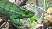 Close up of a bright green chameleon Stockvideo