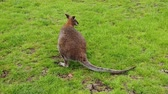 çalı : Slow motion of a wallaby in a green field eating grass Stok Video