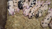 A row of cute piglets resting in a pig pen Filmati Stock