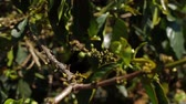 doi chang : Young coffee beans on branches Vietnam Stock Footage