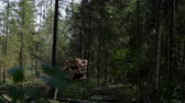чили : Feller Buncher drives through clearing in forest