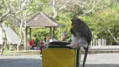 pet : Monkey eatting on garbage bug in Bali Indonesia Stock Footage