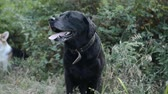 short haired : dog black labrador retriever walks in the natural park
