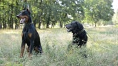 short haired : two dogs black labrador retriever and doberman sitting in the natural park