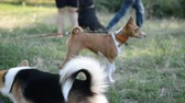 short haired : Basenji African dog breed playing in the natural park with leash