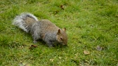 eastern gray or grey squirrel eating seeds on the green grass in East England, Suffolk