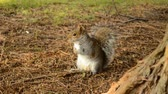 eastern gray or grey squirrel searching food on the ground