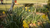 daffodil narcissus flowers blooms in the park. Blurred active people: runner, couple walking with little child and man with golden retriever dog. Spring time