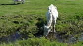 White cow drinking water from ditch Wideo