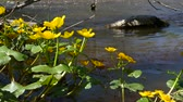 mensageiro : Kingcup Marsh-marigold (Caltha palustris) with yellow blossom in a river stream Caltha palustris