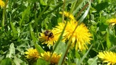 Green meadow with blooming yellow dandelions with working bumblebee on a sunny spring day