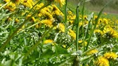 Green meadow with blooming yellow dandelions on a sunny spring day Wideo