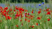 Blooming Red poppy and blue cornflowers flowers in green agriculture field Wideo
