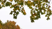 Colorful Autumn maple leaves on gray overcast sky Wideo
