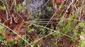 bažina : Close-up of bog vegetation and spider web Dostupné videozáznamy