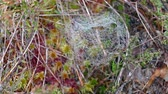 żurawina : Close-up of bog vegetation and spider web Wideo
