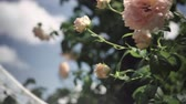 rose garden : Flowering bushes in the rose garden, Botanical garden Stock Footage