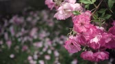 florescence : Flowering bushes in the rose garden, Botanical garden Stock Footage