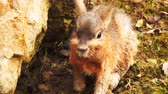 zając : The Patagonian mara is rabbit-like animal from Argentina. Wideo