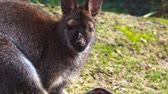 avustralya : Wallaby sits and looks directly into the camera.