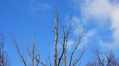 bare forest : Dry branches of a tree sway in the wind against a blue sky .