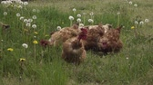 Chickens with a bare neck. Wideo