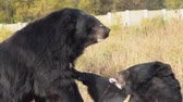 como : Two Black Bear Asian (Ursus thibetanus) plays wrestling