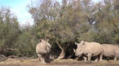 A group of rhinos under a tree looks on the camera and chews the grass.