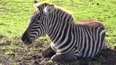 The zebra is lying on the grass and moving its ears .. Dostupné videozáznamy