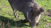 áfrica do sul : The common warthog (Phacochoerus africanus) eats grass on the ground