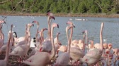 kuş sürüsü : A flock of pink flamingos on the shore near the water. Birds move excitedly and spread their wings.