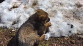 pet friendly : Little puppy of a Caucasian shepherd dog plays on melting snow and grass in the sun