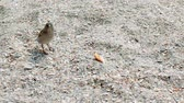 little sparrow (bird) eats bread crumbs on the seashore