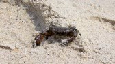 spook : Black crab sits on the beach and enjoys the sun