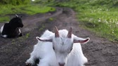 Domestic goats graze. Stok Video