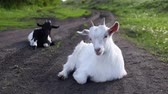 Domestic goats graze