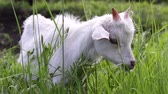 Baby goat eats grass and grazes in the meadow Stok Video